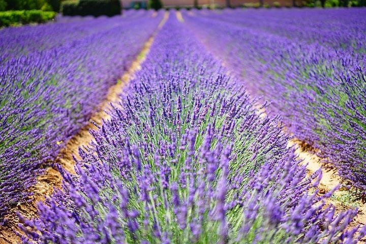 lavender-flowers-1595487__480
